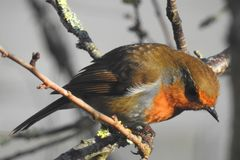 Close up of a wild bird, a Robin, perched on a twig. A detailed image of a wild Robin small bird with a red breast perched on a winter twig in the sun shine. The Royalty Free Stock Image