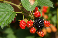 Close-up of wild blackberries Royalty Free Stock Image