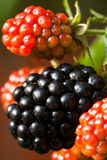 Close-up of wild blackberries Royalty Free Stock Photos