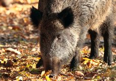 Close up of wild boar in autumn forest. Wild boar,sus scrofa in autumn forest Stock Photo
