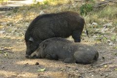 Close up wild boar. Close up big wild boar Stock Image