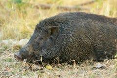 Close up wild boar. Close up big wild boa Stock Photo