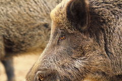 Close up of wild boar head. ( Sus scrofa Stock Image