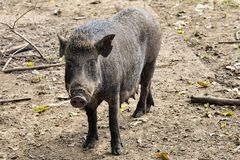 Close up wild boar. Pig Royalty Free Stock Images