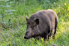 Wild boar. Close up wild boar pig Royalty Free Stock Image