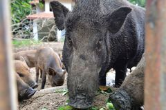 Close up wild boar. Pig Stock Photography