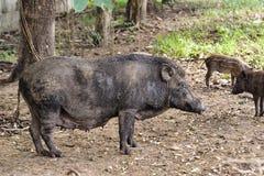 Wild boar. Close up wild boar pig Stock Photo