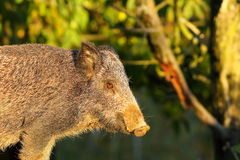 Close up of wild boar Stock Photo