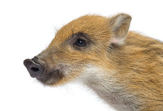 Close up of a Wild boar, Sus scrofa, looking away, isolated on white Stock Photos