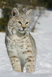 Close up of a wild bobcat. Wild Bobcat close up ahowing pointed ears Stock Image