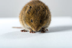 Close up on wild brown field mouse � frontal view Stock Photos