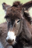 Close Up of a Wild Burro. A wild burro in Custer State Park, South Dakota. The burros are a popular attraction for visitors and one area of the park is full of Stock Photos