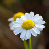 Close up of wild camomiles. White flowers Royalty Free Stock Photography