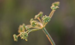 Close up of wild carrot flower Stock Photos