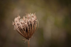 Close-up of a wild carrot seed head Stock Images