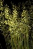 Blooming Poa grass. Close-up of wild cereal grass Poa annua blooming over dark background Stock Image