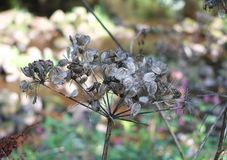 Close up of wild cow parsnip seed heads against a blurred nature background. Close up of wild cow parsnip seed heads against a blurred woodland nature background royalty free stock photography