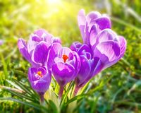 Close-up of wild crocus flowers Royalty Free Stock Photos