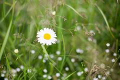 Close-up of Wild daisy flower growing in green field, macro image of beautiful chamomile.  stock photography