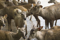 Close-up of wild deers Stock Images