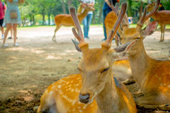 Close up of wild deers in Nara, this city is a major tourism destination in Japan - former capita city and currently. UNESCO World Heritage Site royalty free stock photography