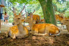 Close up of wild deers in Nara, this city is a major tourism destination in Japan - former capita city and currently. UNESCO World Heritage Site stock photography