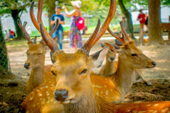 Close up of wild deers in Nara, this city is a major tourism destination in Japan - former capita city and currently Stock Photography