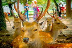 Close up of wild deers in Nara, this city is a major tourism destination in Japan - former capita city and currently. UNESCO World Heritage Site stock images