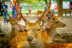 Close up of wild deers in Nara, this city is a major tourism destination in Japan - former capita city and currently. UNESCO World Heritage Site royalty free stock photos