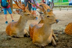 Close up of wild deers in Nara, this city is a major tourism destination in Japan - former capita city and currently. UNESCO World Heritage Site royalty free stock images