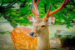 Close up of wild deers in Nara, this city is a major tourism destination in Japan - former capita city and currently. UNESCO World Heritage Site stock image