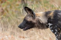 Close-up of wild dog, also called painted dog. Close-up of a wild dog, Lycaon Pictus, also called painted dog. Limpopo Province of South Africa royalty free stock image
