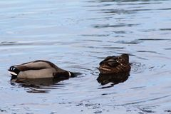 WIld duck or mallard, Anas platyrhynchos, pair swimming in lake. Close up of WIld duck couple swimming in water Royalty Free Stock Photos