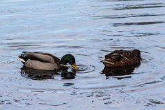 WIld duck or mallard, Anas platyrhynchos, pair swimming in lake. Close up of WIld duck couple swimming in water Stock Image