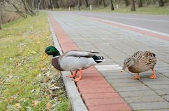 Close-up of the wild ducks in the walkway Royalty Free Stock Photography