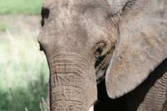 Close Up of Wild Elephant`s Head  in a Lush Tanzania Landscape w Royalty Free Stock Image