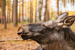 Close up of wild female moose, elk Stock Images