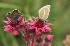 Macrophotography of a wild flower - Sempervivum arachnoideum Stock Photography