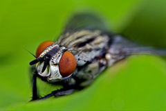 Calliphoridae Stock Photography