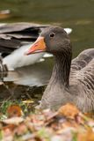 Wild geese in lake. A close up of wild geese in a lake in north Germany Stock Photography