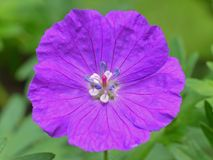 Wild Geranium. Close up of a Wild Geranium on a green leaf background royalty free stock photography