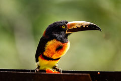 Close up of wild green-billed red-breasted toucan, Ramphastos dicolorus, showing colorful long bill Royalty Free Stock Photos