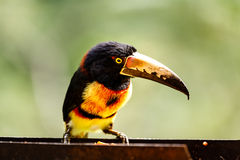 Close up of wild green-billed toucan Ramphastos dicolorus,   red-breasted toucan Royalty Free Stock Photos
