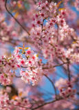 Close-up of Wild Himalayan cherry blooming Stock Photos