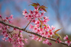 Close-up of Wild Himalayan cherry blooming Royalty Free Stock Images