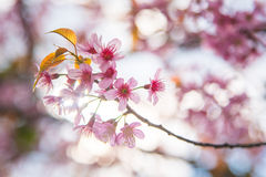 Close-up of Wild Himalayan cherry blooming Stock Photography