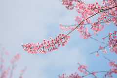 Close-up of Wild Himalayan cherry blooming Royalty Free Stock Photo