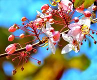 Close up Wild Himalayan Cherry on branch tree. Close up Wild Himalayan Cherry on branch tree blur background Stock Photo