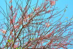Close up Wild Himalayan Cherry on branch tree. Blue sky background Royalty Free Stock Photos