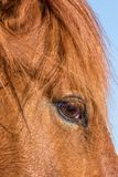 Close up of a Wild Horse. A close up portrait of a wild horse in the Arizona desert Stock Image